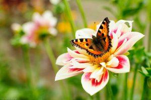 Butterfly Dahlia Flower Aglais urticae