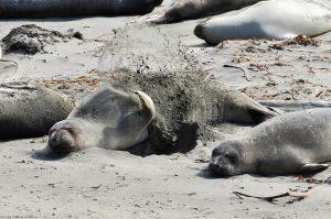 California Sea Lion Zalophus Californianus throwing sand