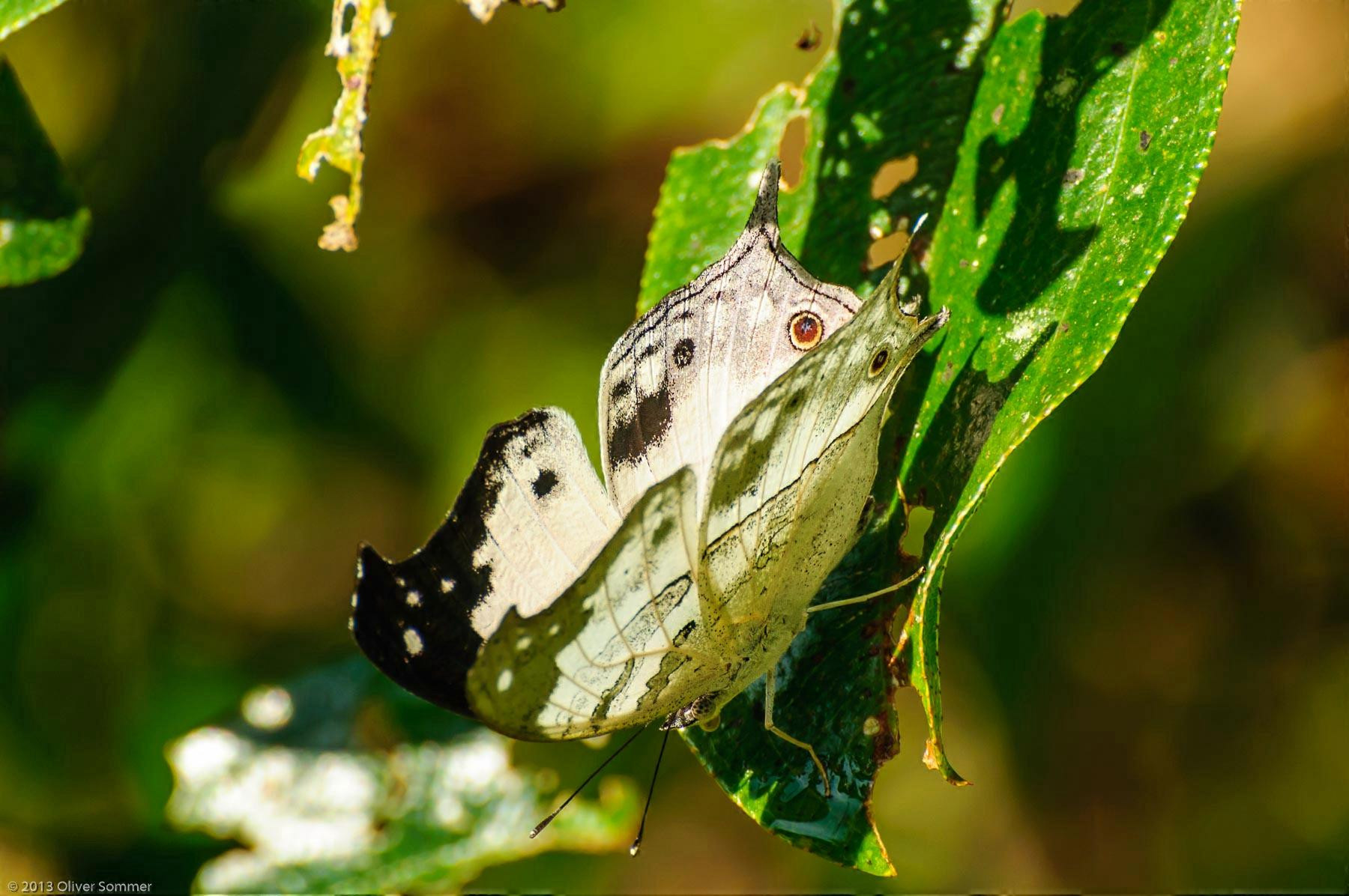 Clouded Mother-of-pearl butterfly Protogoniomorpha Anacardii Duprei