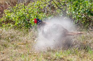 Common Pheasant Phasianus colchicus Sand Shaking