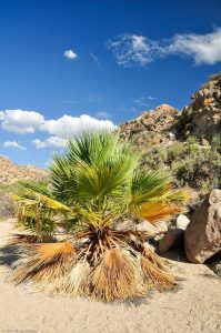 Cottonwood Spring Palm Tree Sand rock