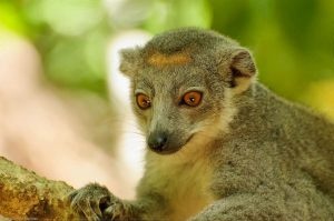 Ankarana Crowned Lemur Eulemur Coronatus Madagascar