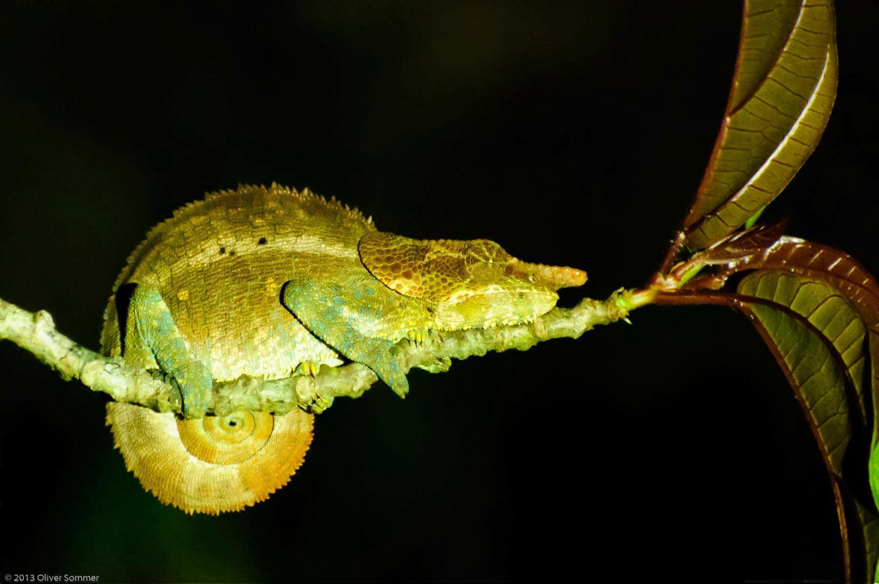 Calumma Crypticum Cryptic chameleon Madagascar Ranomafana