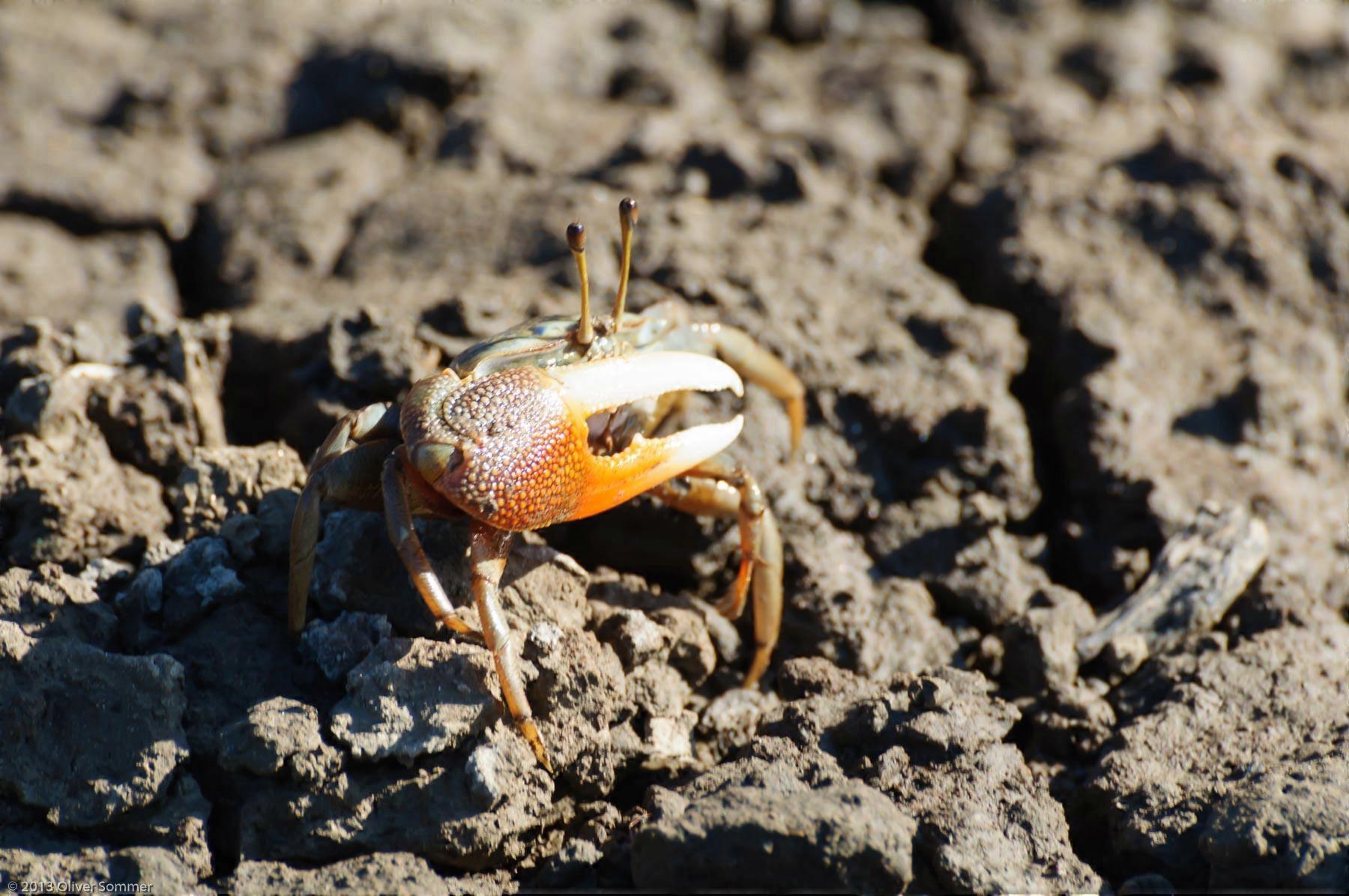 Urville Fiddler Crab Madagascar Mangrove Uca urvillei
