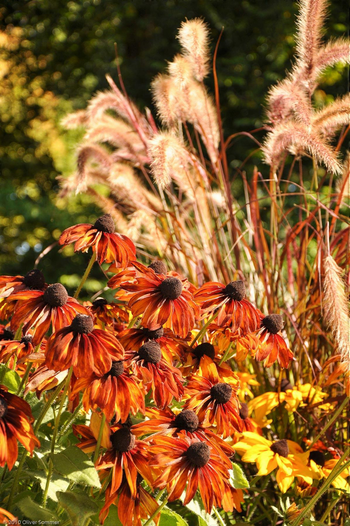Cone Flower Echinacea Orange Yellow