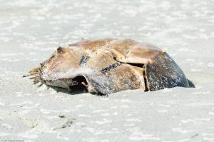 empty Crab shell white sand beach