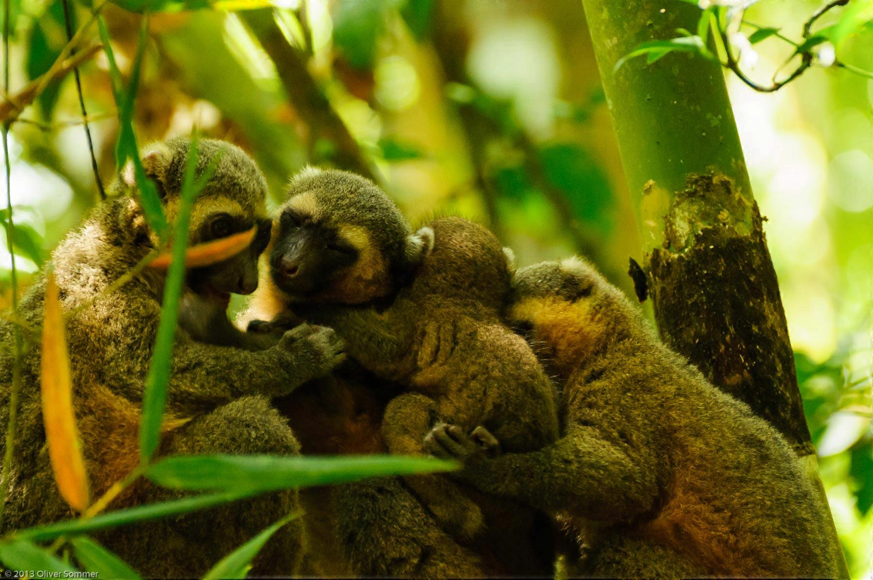 Golden Bamboo Lemur Hapalemur Aureus Madagascar Ranomafana