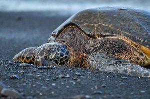 Chelonia Mydas Green Sea Turtle black sand
