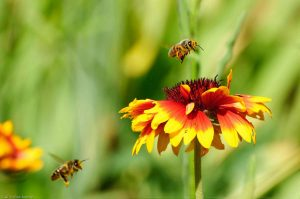 Apis mellifera Honey Bee Gaillardia