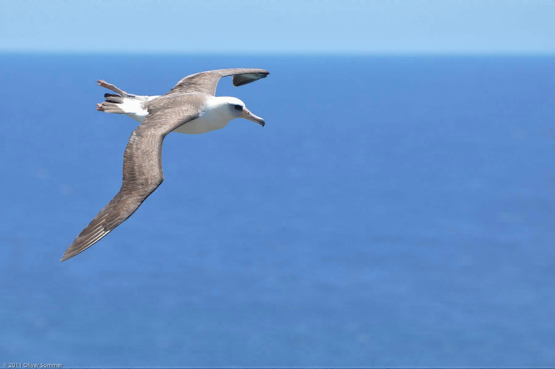 Laysan Albatross gliding Phoebastria Immutabilis