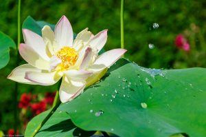 Water Drop Lotus Effect Nelumbo Nucifera