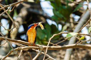 Alcedo Vintsioides Feeding Madagascar Kingfisher Prawn Shrimp