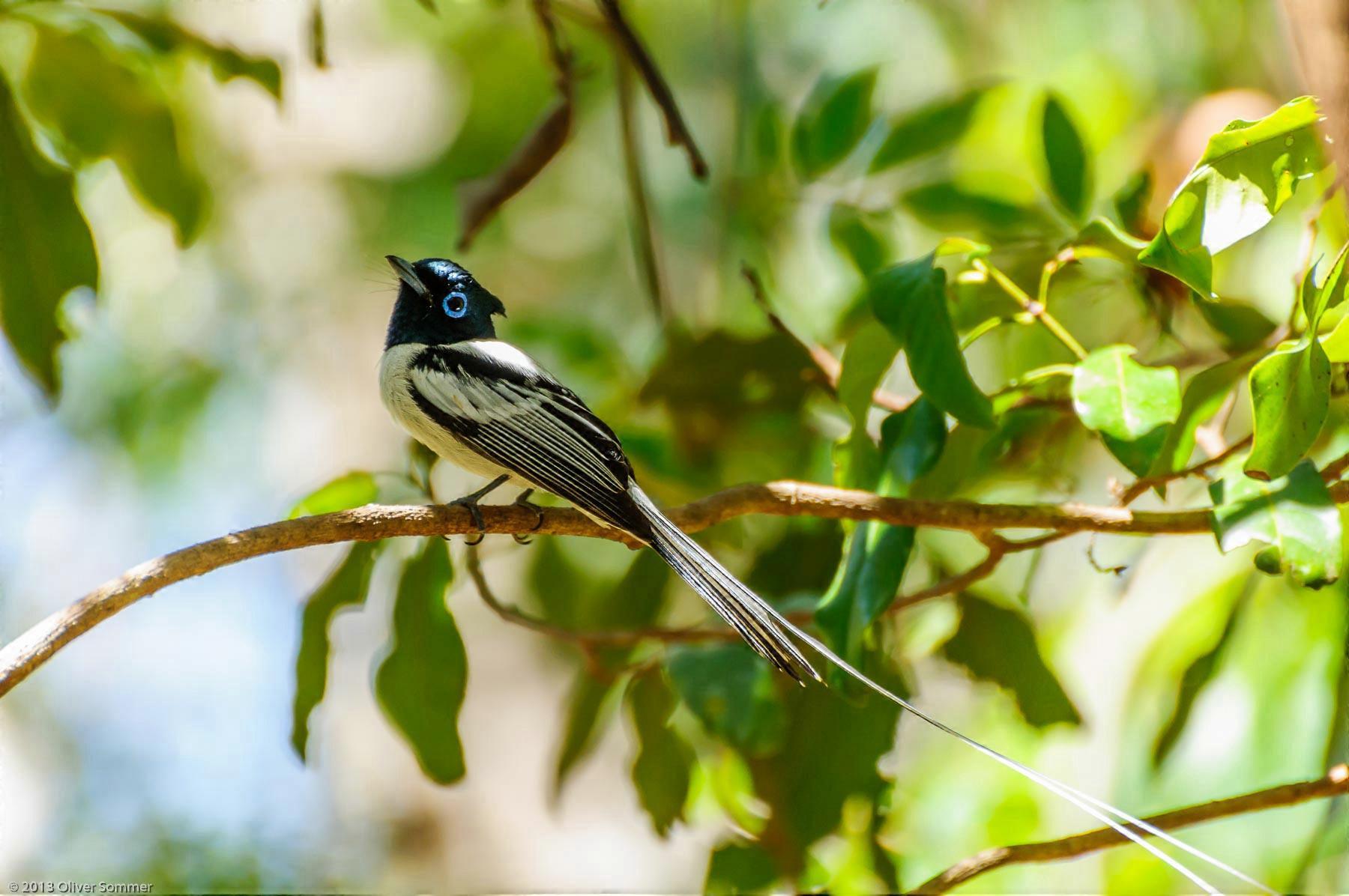 Madagascar Paradise Flycatcher Ankarana Terpsiphone Mutata
