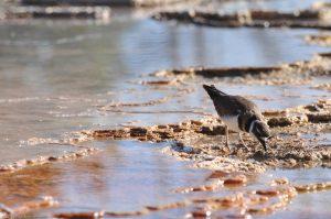 Bird Mammoth Hot Springs Yellowstone water