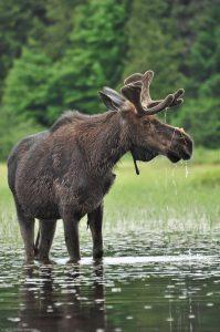 Alces Algonquin Eurasian Elk Moose Water