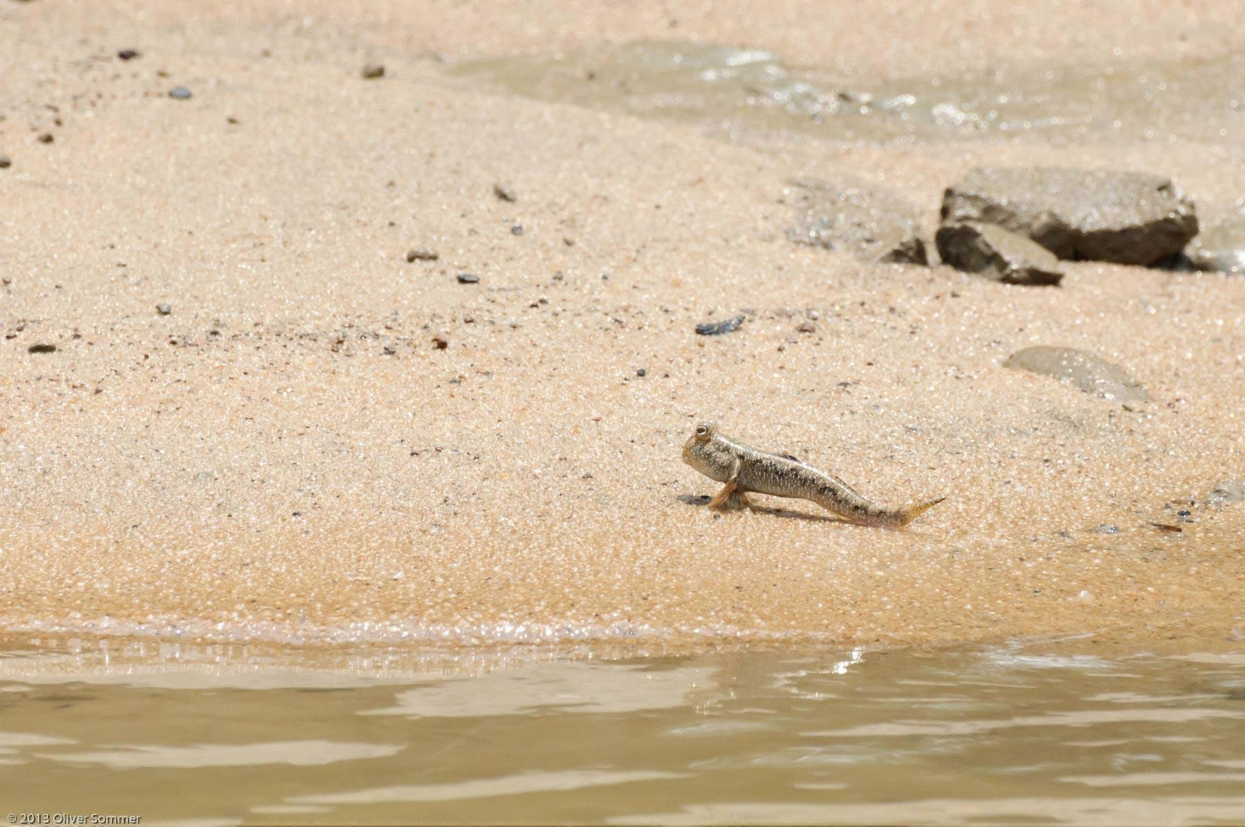 Madagascar Mangrove Mudskipper Periophthalmus Argentilineatus Tidal Zone
