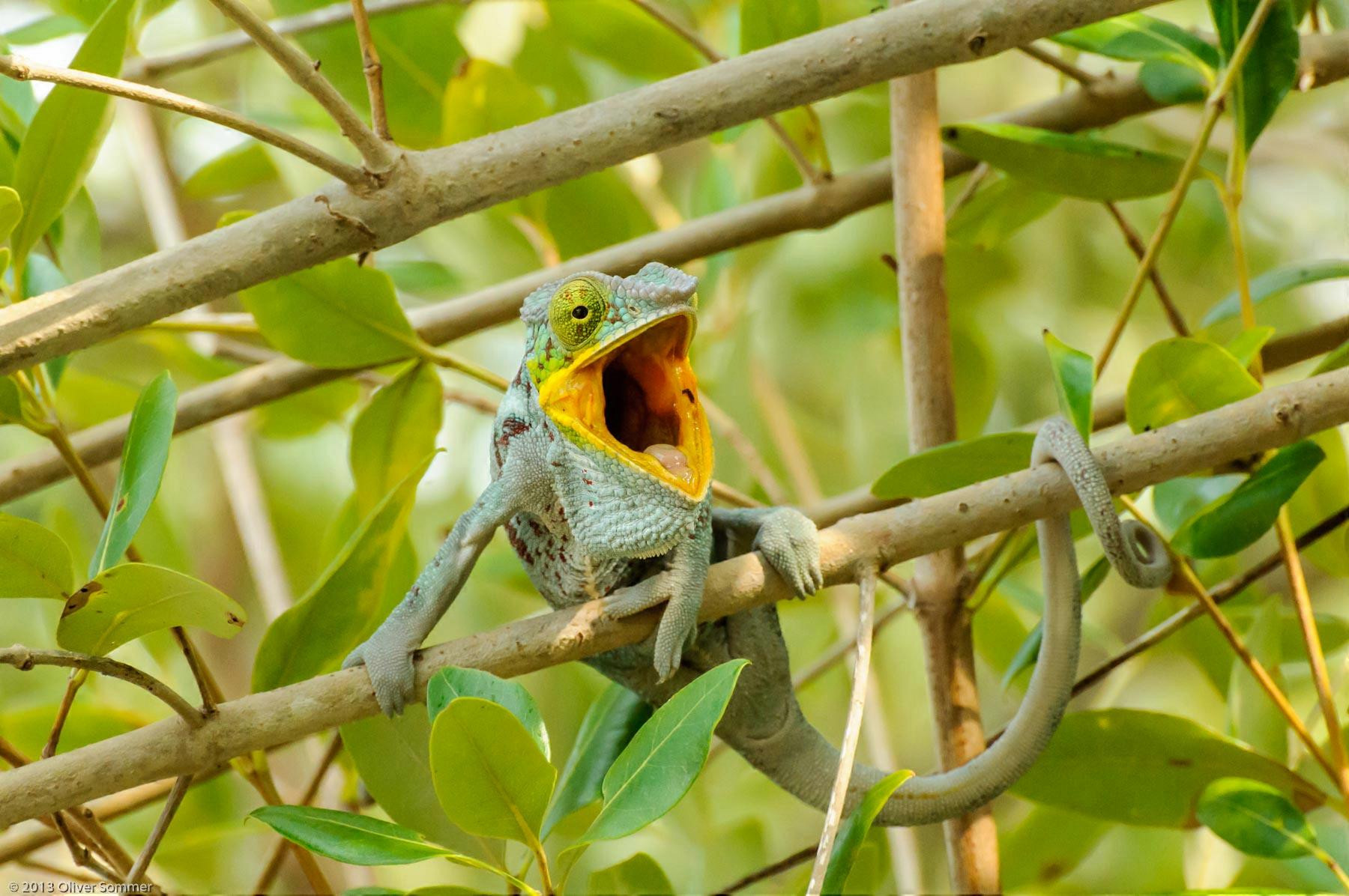 Furcifer Pardalis Madagascar Panther Chameleon mouth
