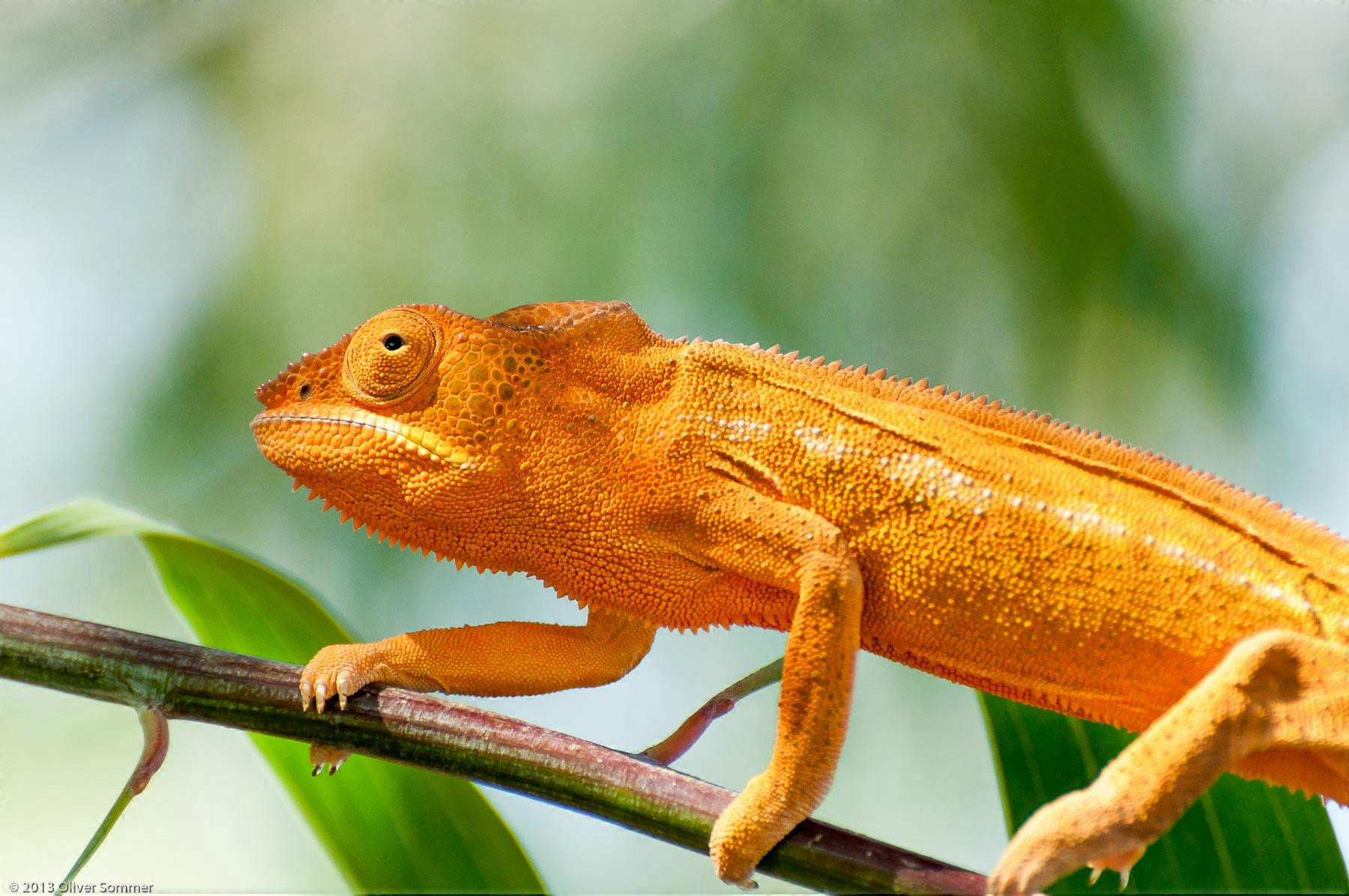 Furcifer Pardalis Madagascar Orange Panther Chameleon