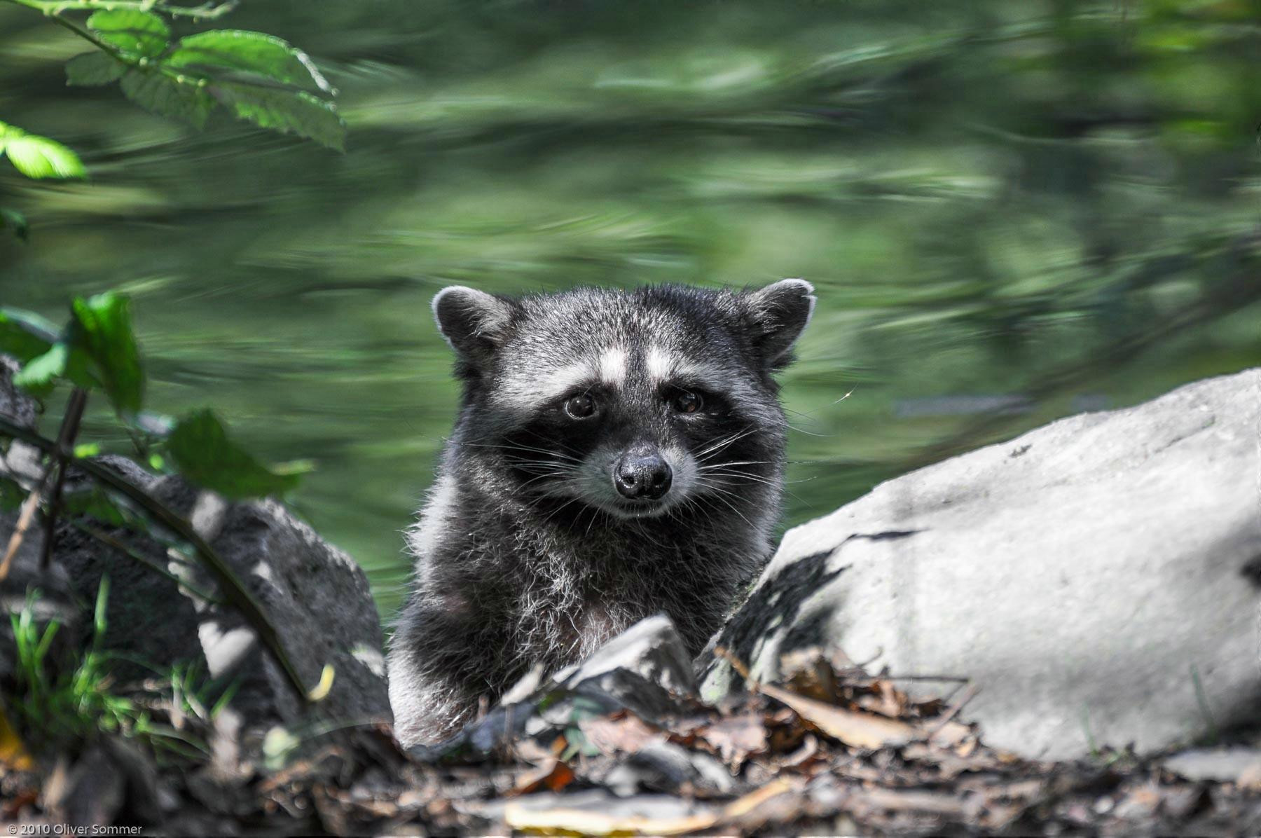 Baby Procyon lotor Raccoon Vancouver Water