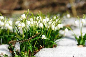 Leucojum vernum Snowbell Spring Snowflake dewdrop