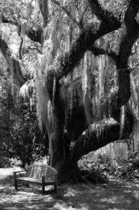 Spanish moss Tillandsia usneoides Tree