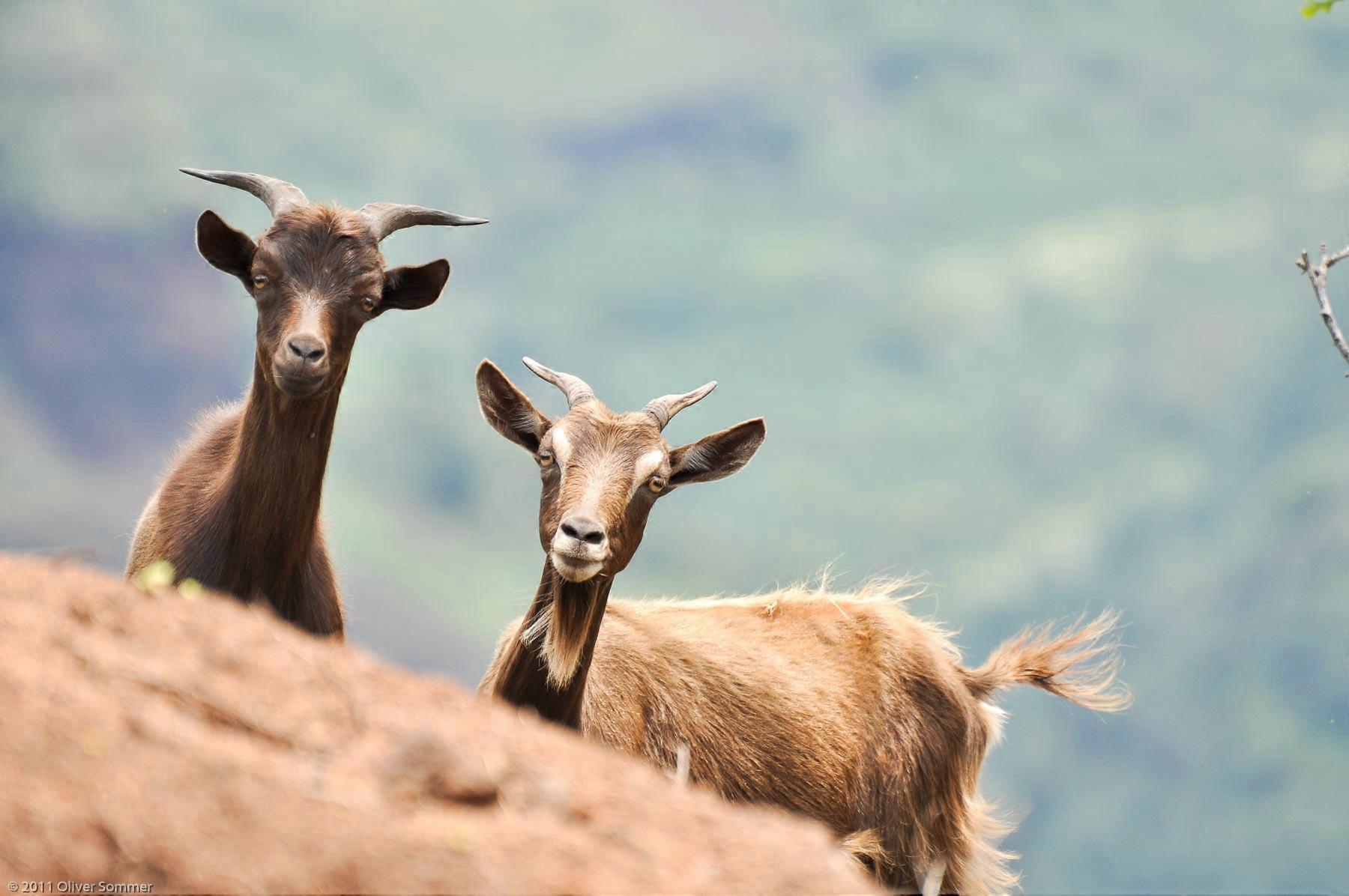 Capra Aegagrus Hircus Domestic Goat