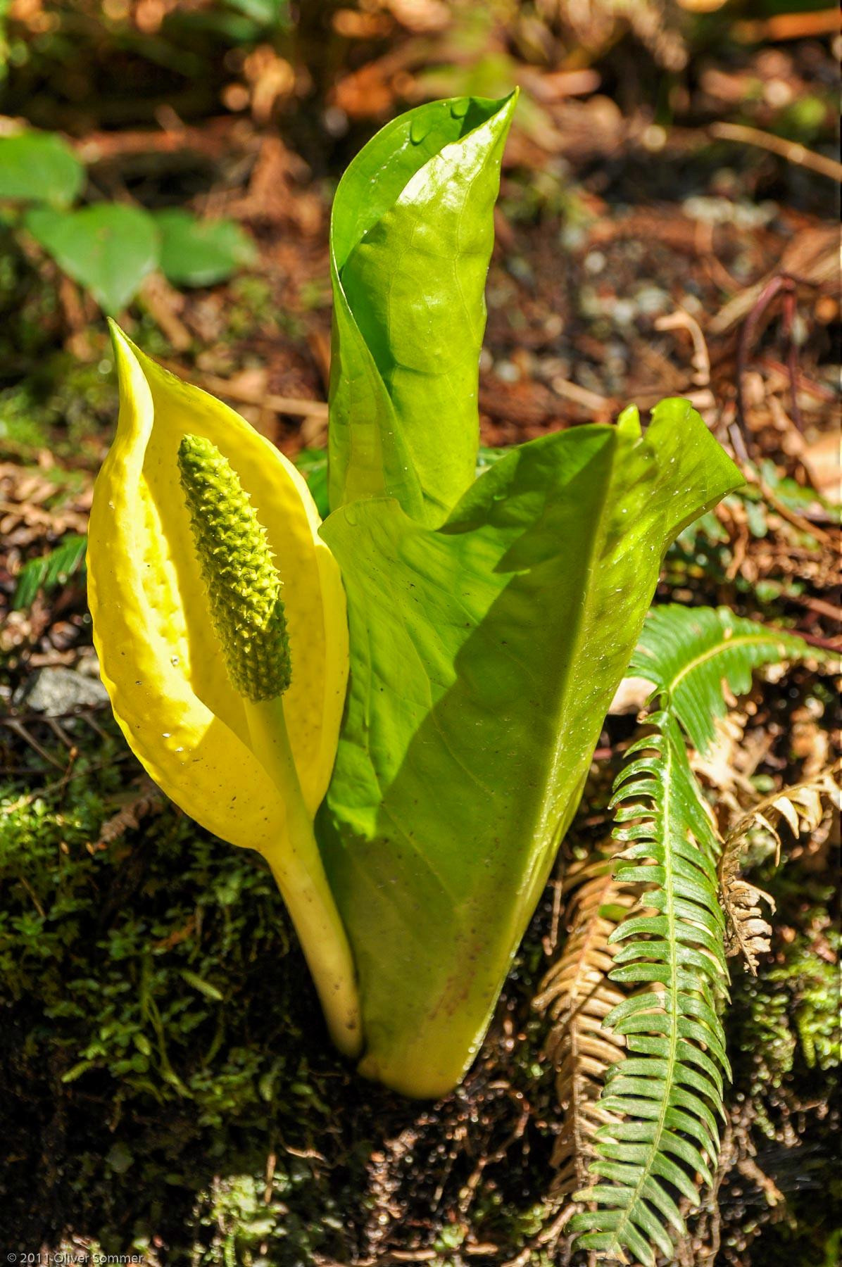 Lysichiton Americanus Swamp Lantern Skunk Cabbage