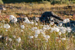 Kungsleden Lapland Sweden Cottongrass Cottonsedge Eriophorum