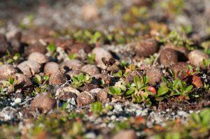 Kungsleden Lapland Cowberry Lingon Reindeer dung